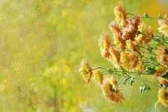 As flores no outono da janela chovem gotas como o crisântemo do sol imagens de stock