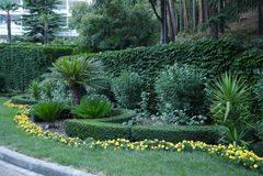 As flores pequenas amarelas serpenteiam a ondulação em torno dos baixos arbustos decorativos e do verde da luxúria Crescimento em Imagens de Stock