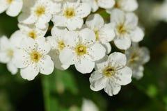 As flores pequenas brancas fecham-se acima Imagem de Stock