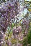 As flores perfumadas da glicínia abrem na luz do sol da tarde-mola fotografia de stock