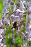 As flores perfumadas da glicínia atraem zangões na mola atrasada imagem de stock royalty free
