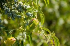 As flores picam delicadamente os botões perto do dia de verão ensolarado da árvore de cipreste Imagem de Stock