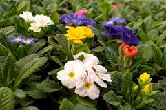 As flores roxas, azuis e brancas florescem em fevereiro, pronto para o dia do ` s das mulheres do 8 de março em uma estufa ensola Fotos de Stock