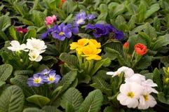 As flores roxas, azuis e brancas florescem em fevereiro, pronto para o dia do ` s das mulheres do 8 de março em uma estufa ensola Foto de Stock Royalty Free