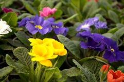 As flores roxas, azuis e brancas florescem em fevereiro, pronto para o dia do ` s das mulheres do 8 de março em uma estufa ensola Fotos de Stock Royalty Free