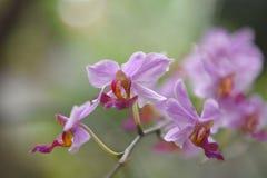 As flores roxas da orquídea crescem a flor imagens de stock