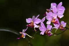 As flores roxas da orquídea estão florescendo imagem de stock