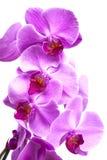 As flores roxas da orquídea fecham-se acima no branco Imagens de Stock