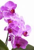 As flores roxas da orquídea fecham-se acima no branco Fotos de Stock Royalty Free