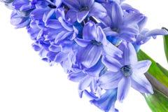 As flores roxas do jacinto fecham-se acima do isolado fotografia de stock royalty free