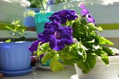 As flores roxas do petúnia crescem no potenciômetro de flor Balcão que esverdeia com as plantas em pasta decorativas foto de stock royalty free