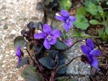 As flores roxas estão crescendo entre o fundo do concreate Fotos de Stock Royalty Free