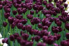 As flores roxas fortes dispersaram em um grande jardim Imagens de Stock