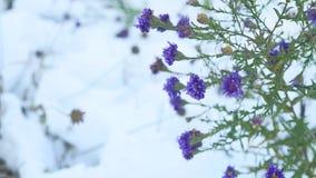 As flores roxas no inverno da neve ajardinam a natureza Imagens de Stock Royalty Free