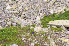 As flores roxas pequenas fazem sua maneira através das pedras no mounta imagens de stock