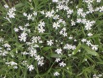 As flores são anêmonas brancas Imagens de Stock Royalty Free