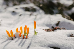 As flores são perfuradas fora da neve Fotografia de Stock Royalty Free