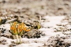 As flores são perfuradas fora da neve Imagem de Stock