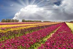 As flores são plantadas com listras coloridas imagem de stock royalty free