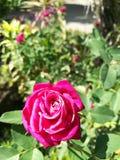 As flores são vermelhas As violetas são azuis Imagem de Stock