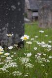 As flores selvagens crescem na frente de um túmulo em um cemitério em uma vila tradicional em Dartmoor fotografia de stock royalty free