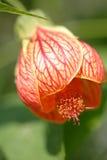 As flores vermelhas brilhantes crescem em um garde Fotos de Stock