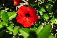 As flores vermelhas, chineses aumentaram Imagens de Stock Royalty Free