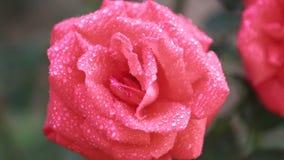 As flores vermelhas cor-de-rosa bonitas com água deixam cair no jardim Rosa no orvalho da chuva, fim acima, cena dinâmica, vídeo  video estoque