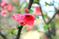 As flores vermelhas da mola no ramo na mola estacionam Fotografia de Stock Royalty Free