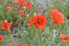 As flores vermelhas da papoila crescem no parque, foco seletivo Imagens de Stock Royalty Free