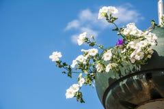 As flores vermelhas do gerânio do jardim, fim acima do tiro/gerânio florescem/flores do Lavatera/petúnia do verão no jardim no te Imagem de Stock