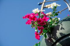 As flores vermelhas do gerânio do jardim, fim acima do tiro/gerânio florescem/flores do Lavatera/petúnia do verão no jardim no te Imagem de Stock Royalty Free
