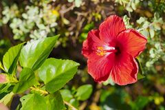 As flores vermelhas do hibiscus estão florescendo Imagens de Stock Royalty Free