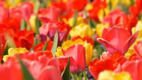 As flores vermelhas e amarelas coloridas bonitas pitorescas das tulipas florescem no jardim da mola Flor decorativa da flor da tu vídeos de arquivo