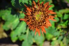 As flores vermelhas e amarelas com borrão esverdeiam a folha Fotografia de Stock Royalty Free