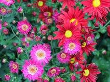 As flores vermelhas e cor-de-rosa bonitos do crisântemo fecham-se acima como o fundo fotos de stock royalty free