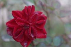 As flores vermelhas olham frescas Fotos de Stock Royalty Free