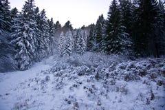 As florestas bonitas de pinhos cobertos de neve no inverno Foto de Stock