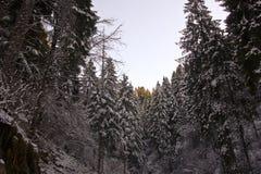 As florestas bonitas de pinhos cobertos de neve no inverno Fotos de Stock Royalty Free