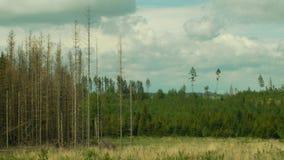 As florestas do abeto vermelho infestaram a seca e atacaas pelo typographus europeu do Ips da praga do besouro de casca do abeto  video estoque