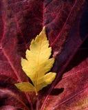 As folhas ainda das folhas de outono, caem imagens clássicas fotografia de stock royalty free