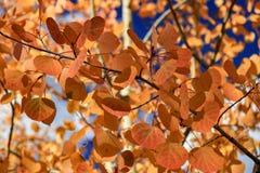 As folhas alaranjadas dos álamos tremedores fecham-se acima fotografia de stock