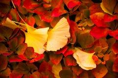As folhas amarelas da nogueira-do-Japão caíram sobre as folhas vermelhas Imagem de Stock