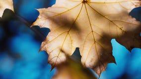 As folhas amarelas do bordo são iluminadas brilhantemente pelo sol do outono Contra o céu azul - opinião do outono vídeos de arquivo