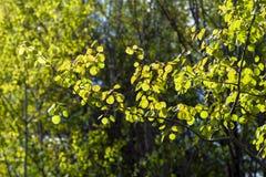 As folhas brilhantes do álamo tremedor contrastam com o fundo escuro da floresta fotos de stock