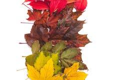As folhas caídas de cores diferentes das árvores encontram-se nas fileiras Imagem de Stock