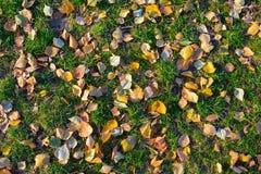 As folhas caídas encontram-se na grama verde no outono Imagem de Stock