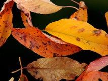 As folhas coloridas da queda Imagens de Stock