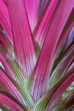 As folhas coloridas de uma planta da bromeliácea fotos de stock