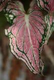As folhas cor-de-rosa coloridas do fundo do exotica do bastão mudo modelam a folha cor-de-rosa abstrata do Dieffenbachia Textured Fotos de Stock